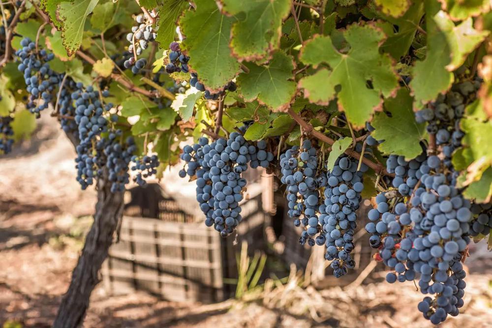 Uvas de Tinogasta 1